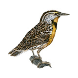 Eastern Meadowlark (Sturnella Magna), Birds Reproduction sur métal par  Encyclopaedia Britannica