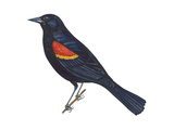 Red-Winged Blackbird (Agelaius Phoeniceus), Birds Posters par  Encyclopaedia Britannica