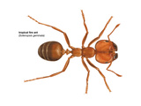 Tropical Fire Ant (Solenopsis Geminata), Insects Prints