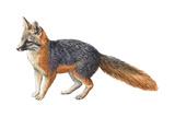 Gray Fox (Urocyon Cinereoargenteus), Mammals Poster by  Encyclopaedia Britannica