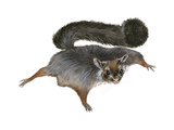 Giant Flying Squirrel (Petaurista), Mammals Stretched Canvas Print by  Encyclopaedia Britannica