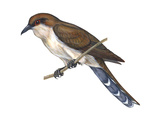 Black-Billed Cuckoo (Coccyzus Erythropthalmus), Birds Affiches par  Encyclopaedia Britannica