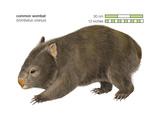 Common Wombat Phascolomis, or Vombatus Ursinus Posters af Encyclopaedia Britannica