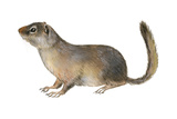 Ground Squirrel (Sciuridae), Mammals Posters by  Encyclopaedia Britannica