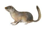 Ground Squirrel (Sciuridae), Mammals Posters