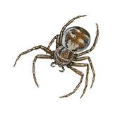 Elegant Crab Spider (Xysticus Elegans), Arachnids Posters by  Encyclopaedia Britannica