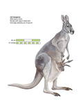 Female Red Kangaroo with Joey (Macropus Rufus), Marsupial, Mammals Stretched Canvas Print by  Encyclopaedia Britannica