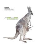 Female Red Kangaroo with Joey (Macropus Rufus), Marsupial, Mammals Posters