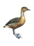 Fulvous Tree Duck (Dendrocygna Bicolor), Birds Stretched Canvas Print by  Encyclopaedia Britannica