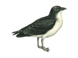 Diving Petrel (Pelecanoides Urinatrix), Birds Posters par  Encyclopaedia Britannica