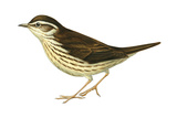 Water Thrush (Seiurus Noveboracensis), Birds Prints by  Encyclopaedia Britannica