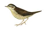 Water Thrush (Seiurus Noveboracensis), Birds Prints