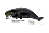 Greenland Right Whale or Bowhead (Balaena Mysticetus), Mammals Posters