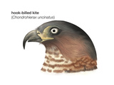 Head of Hook-Billed Kite (Chondrohierax Uncinatus), Birds Photographie par  Encyclopaedia Britannica