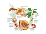 Life Cycle of the Fig Wasp (Agaonidae). Insects, Biology Prints