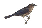Rusty Blackbird (Euphagus Carolinus), Birds Posters