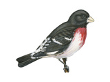 Rose-Breasted Grosbeak (Pheucticus Ludovicianus), Birds Stretched Canvas Print by  Encyclopaedia Britannica