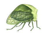 Treehopper (Ceresa Bubalus), Insects Photo