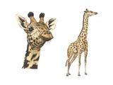 Blotched Giraffe (Giraffa Camelopardalis), Mammals Prints by  Encyclopaedia Britannica