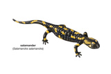 Salamander (Salamandra Salamandra), Amphibians Photo
