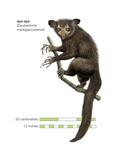 Aye-Aye (Daubentonia Madagascariensis), Primate, Mammals Prints