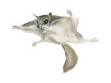 New World Flying Squirrel (Glaucomys), Mammals Plakater af Encyclopaedia Britannica