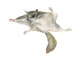 New World Flying Squirrel (Glaucomys), Mammals Posters van  Encyclopaedia Britannica