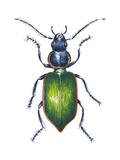 Adult Ground Beetle (Carabidae,), Insects Prints by  Encyclopaedia Britannica