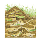 Harvester Ant Colony Cross Section. Insects, Biology Prints by  Encyclopaedia Britannica