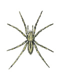 Wolf Spider (Lycosa Communis), Arachnids Posters af Encyclopaedia Britannica