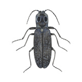 Click Beetle (Alaus Oculatus), Insects Prints by  Encyclopaedia Britannica