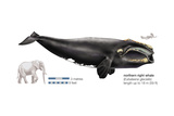 Black Right Whale or Northern Right Whale (Eubalaena Glacialis), Mammals Poster