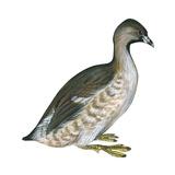 Pied-Billed Grebe (Podilymbus Podiceps), Birds Photographie par  Encyclopaedia Britannica