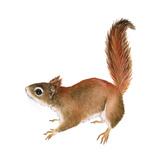 Red Squirrel (Sciurus Vulgaris), Mammals Prints