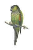 Rock Parakeet (Pyrrhura Rupicola), Birds Posters by  Encyclopaedia Britannica