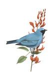 Swallow-Tanager (Tersina Viridis), Birds Photo