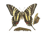 Zebra Swallowtail Butterfly, Caterpillar, and Pupae (Eurytides Marcellus), Insects Poster