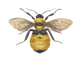 Bumblebee (Bombus Pennsylvanicus), Insects Posters by  Encyclopaedia Britannica