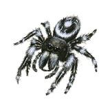 Daring Jumping Spider (Phidippus Audax), Arachnids Plakater af Encyclopaedia Britannica
