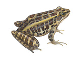 Pickerel Frog (Rana Palustris), Amphibians Posters by  Encyclopaedia Britannica