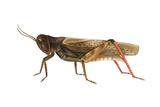 Red-Legged Grasshopper (Melanoplus Femur-Rubrum), Insects Prints