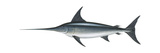 Swordfish (Xiphias Gladius), Fishes Posters by  Encyclopaedia Britannica