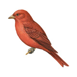 Summer Tanager (Piranga Rubra), Birds Prints by  Encyclopaedia Britannica