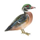 Wood Duck (Aix Sponsa), Birds Stretched Canvas Print by  Encyclopaedia Britannica