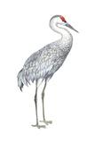 Sandhill Crane (Grus Canadensis), Birds Posters by  Encyclopaedia Britannica