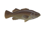 Giant Sea Bass (Stereolepsis Gigas), Fishes Poster by  Encyclopaedia Britannica