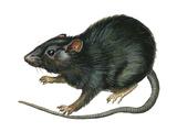 Black Rat (Rattus Rattus), Mammals Posters