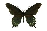 Pipevine Swallowtail (Battus Philenor), Insects Foto van  Encyclopaedia Britannica