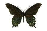 Pipevine Swallowtail (Battus Philenor), Insects Photo by  Encyclopaedia Britannica