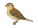Grasshopper Sparrow (Ammodramus Savannarum), Birds Affiche par  Encyclopaedia Britannica
